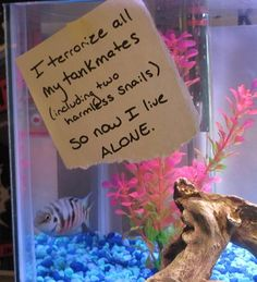 """Fish Shaming: Because fish can be jerks too! """"I terrorize all my tankmates (including two harmless snails) so now I live alone."""""""