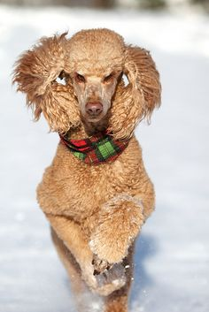 Poodle The Adorable Dog - The Pooch Online Poodle Cuts, Poodle Mix, Cute Puppies, Cute Dogs, Red Poodles, French Poodles, Dog Life, I Love Dogs, Best Dogs