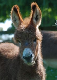 Mini donkey baby... a fluffy cutie!