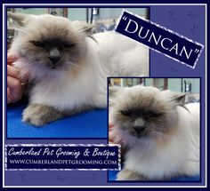 Duncan knows he looks good, but he's completely unimpressed about it all. Cat Hairstyles, Pet Grooming, Healthy Choices, Things To Come, Pets, Hair Styles, Animals, Hair Plait Styles, Animales