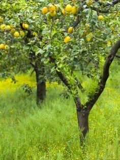 Lemon Grove, Sorrento, Campania, Italy by Walter Bibikow - Modern Garden Trees, Fruit Trees, Pear Trees, Beautiful Places, Outdoor, Sorrento Amalfi, Amalfi Coast, Lost Money, Lemon Recipes