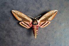 Me encanta esta palomilla, la forma alas y el gusano