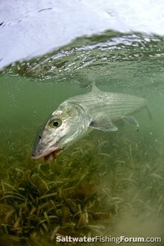 Shallow-water bonefish.