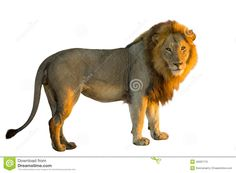Male Lion Side View Stock Photos, Images, & Pictures – (305 Images)