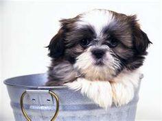 shitz tzu puppy no one told me to stop hidding
