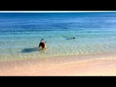 Olympic Beach Swim of Tubsiki the Boston Terrier Dog (Video) Go here to Watch → http://www.bterrier.com/olympic-beach-swim-tubsiki-boston-terrier-dog-video/ - https://www.facebook.com/bterrierdogs