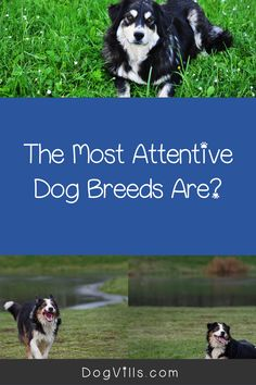 Are you wondering which the most attentive dog breeds are?    You might if you're looking for a dog that's loyal, friendly, and easy to train. Therapy Dog Training, Therapy Dogs, All About Puppies, Emotional Support Animal, St Bernard Dogs, Most Popular Dog Breeds, Herding Dogs, Fluffy Dogs, Small Dog Breeds