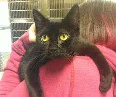 Gracie is an adoptable Domestic Short Hair-Black Cat in Woodbridge, NJ.  ...