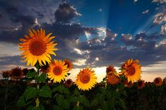 Sunflowers by Andrés López on 500px