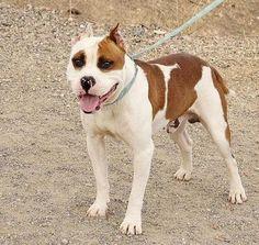 Thor, #CadeBou #AmericanBulldog Mix, 3 Jahre, verträglich http://www.tiervermittlung.de/cgi-bin/haustier/details.pl?IDin=288041
