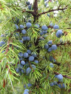 Berries on a juniper - Katajanmarjoja - (Juniperus communis) Alpo Rummukainen Finland Food, Norway Sweden Finland, Conifer Trees, Beautiful Fruits, Wildlife Nature, Tree Leaves, Healing Herbs, Fruit And Veg, Medicinal Plants