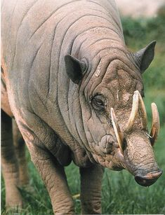The babirusas, also called pig-deer, found on four islands of Indonesia.  Only males sport the fancy horns.