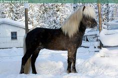 Icelandic Horse - gelding Silfurtoppur frá Hennum