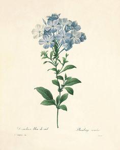 Vintage Flower Prints, Vintage Botanical Prints, Botanical Drawings, Antique Prints, Botanical Art, Vintage Flowers, Antique Art, Vintage Botanical Illustration, Botany Illustration