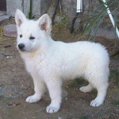 White German Shepherd puppy........I WANT!!!!!!!!!!!!!!