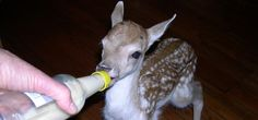 "Shades of Hope rehabilitates injured and orphaned wildlife for South Central Ontario... We need your help NOW!! It takes three seconds!  In the photo: Disney learns to bottle feed. -- Help Shades of Hope give white-tailed deer a safe place to heal. Every year injured deer are euthanized because there are so few licensed facilities. We only have room for six right now. We want to build a pen for 60. Your ""click"" can help us do that! Vote today and every day until the contest closes!"