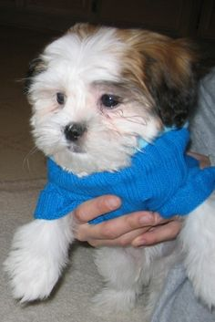 Maltese + Shih Tzu. Doughnut is sporting a form fitting sweater for dogs. You can make this sweater from an old sweater. Super cute DIY dog sweater project.