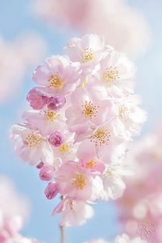 A delicate spring blossom of Prunus serrulata, Japanese Cherry or Sakura Flowers Nature, My Flower, Pretty Flowers, Flower Power, Flower Phone Wallpaper, Spring Flowers Wallpaper, Beautiful Flowers Wallpapers, Cherry Blossom Flowers, Love Garden