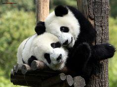 Maman panda et son petit