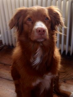 Sammy, Nova Scotia duck tolling retriever.