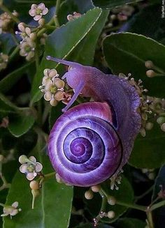The purple snail. The spiraling mathematical properties of its shell provides an amazing  example of the Golden Rectangle based on the Fibonacci Sequence.