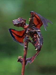 The Satanic Leaf Tailed Gecko is like a real life Dragon! A comment indicates that the wings are fake?