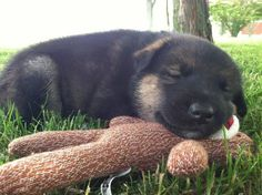 GSD Puppy...Contentment...Ahhhh