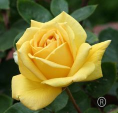 Yellow rose posted at Flickr by Rareimage Photography