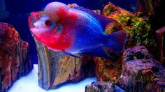 flowerhorn fish pictures   Recent Photos The Commons Getty Collection Galleries World Map App ...
