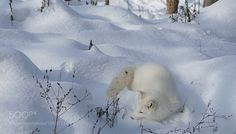 Sleeping in the snow by ikord #animals #animal #pet #pets #animales #animallovers #photooftheday #amazing #picoftheday