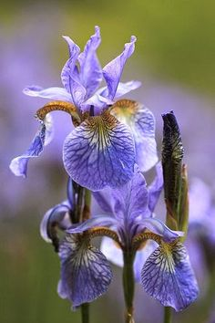 Iris | Dreaming Gardens
