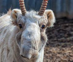 Ein Drittel aller Saiga-Antilopen ist verendet