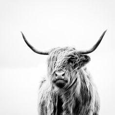 Art photography, cow, horns, minimalist art print, black & white wall art, contemporary wall art, scandinavian wall art
