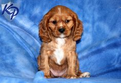 Willow – Cockalier Puppies for Sale in PA | Keystone Puppies