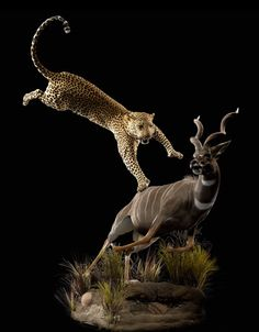 Leopard Attacking Lesser Kudu