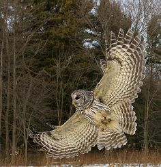 }{     Barred Owl wing flare, David Hemmings