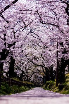 This soft purple is nice, I might want a couple degrees more saturated. Cherry Blossom Japan, Cherry Blossoms, Garden Spells, Beautiful Places In Japan, Elves And Fairies, Cherry Tree, Flowering Trees, Nature Photography, Scenery