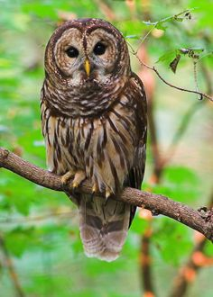 The Barred Owl is a medium large Owl with brown eyes and no ear-tufts.