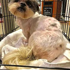 702 Best Shih Tzus Up For Adoption Images In 2019