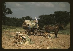 Taking Burley tobacco in from the fields after it had been cut, to dry and cure in the barn, on the Russell Spears' farm, vicinity of Lexington, Ky. September 1940. Marion Post Wolcott.