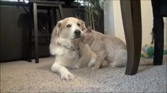 Cat just refuses to leave dog alone. The dog doesn't even react - 9GAG