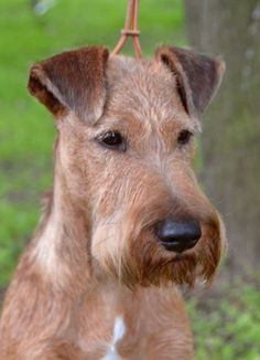 Another great example of an Irish Terrier