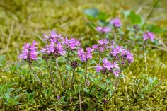 Wild thyme (Thymus serpyllum), Lithuania. Thymus Serpyllum, Green Houses, Potting Sheds, Lithuania, Flora, Plants, Greenhouses, Aquaponics Greenhouse, Plant