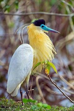 Capped Heron (Pilherodius pileatus) Christian Sanchez photography