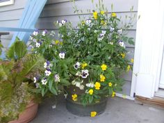 Remove seedheads as they form on container plants, or you risk having the flower show grind to a halt.