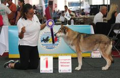 Fossombrone CAMPIONI EUROPEI all'European Dog Show di Bruxelles 2016!!! #eds2016 #saarloos #difossombrone #FOSteam