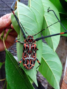 Acrocinus longimanus - Giant Harlequin Beetle Photo 1, via Flickr.