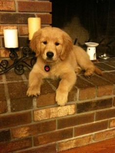 If only it were possible to have a golden retriever puppy that never ages!