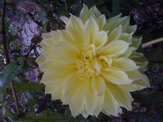 Yellow dalia flower