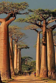 Allée de Baobad à Morondava à #Madagascar - http://worldwildbrice.net/